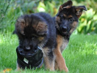german shepherd dog pupies